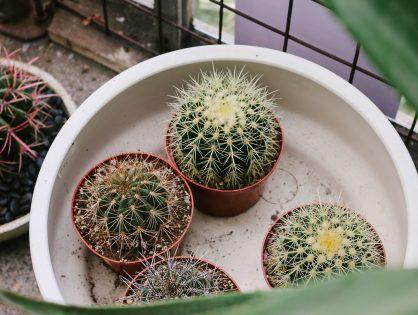 Waarom cactussen opnieuw hip zijn