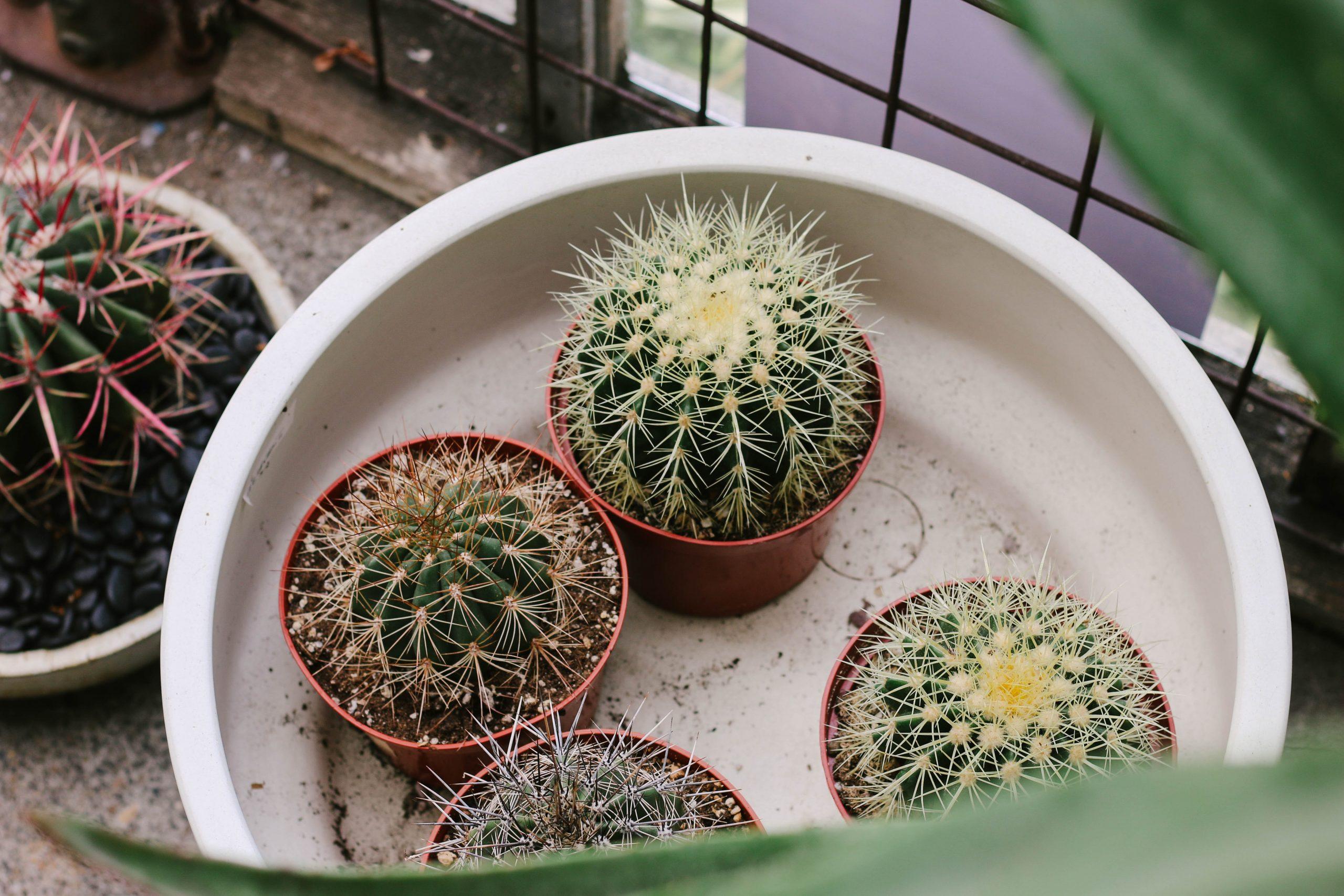 cactus soorten