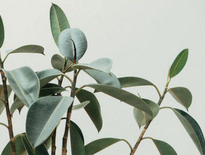 Ficus elastica: deze plant reinigt de lucht rondom je
