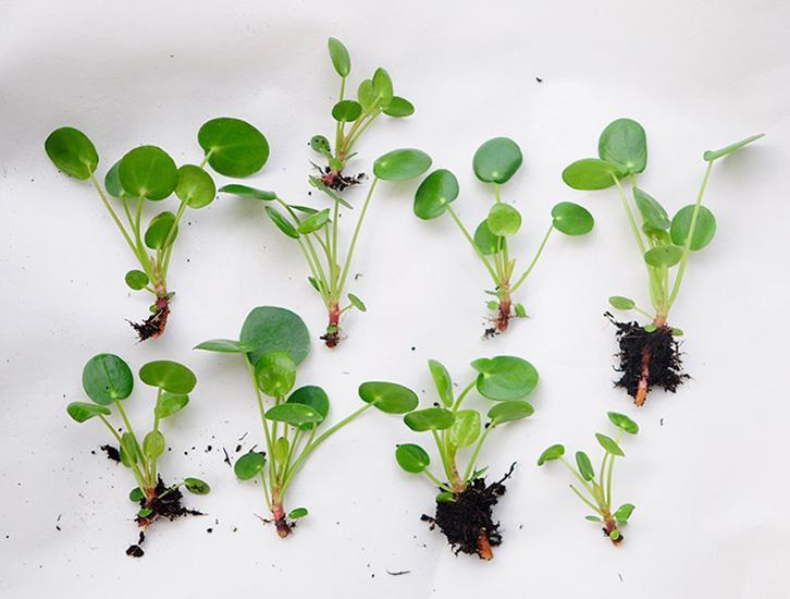 Pannenkoekenplant of pilea peperomioides