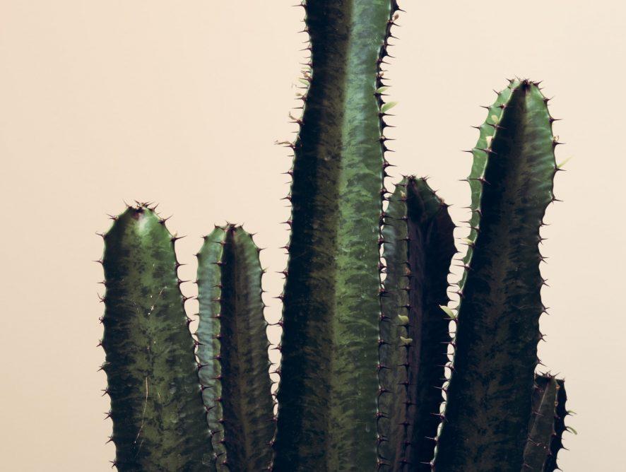 Euphorbia trigona, de cactus die er eigenlijk geen is