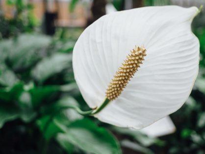 De lepelplant of Spatiphyllum: voor de enthousiaste watergevers