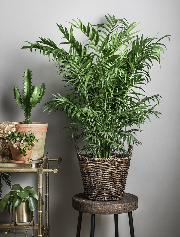 Bergpalm © Plantagen