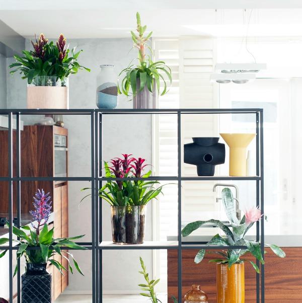 Bromelia als kamerplant