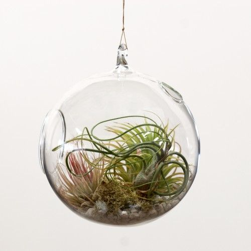 Tillandsia air plants terrarium