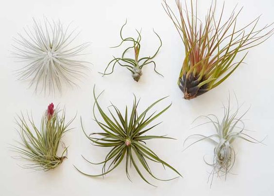 Tillandsia soorten air plants