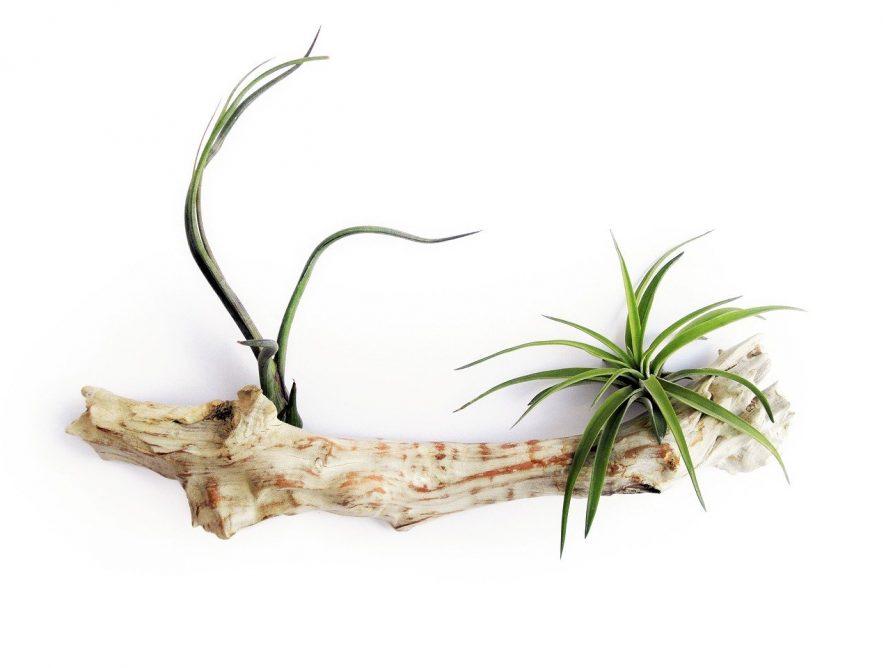 Tillandsia, hippe air plants om helemaal mee te zijn