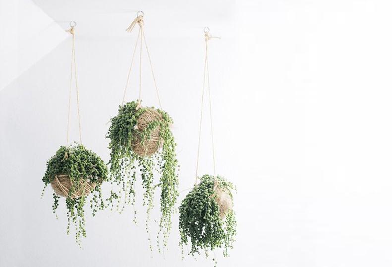 erwtenplant in kokedama