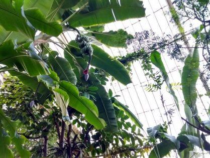 Eyecatcher van formaat: Musa of bananenplant