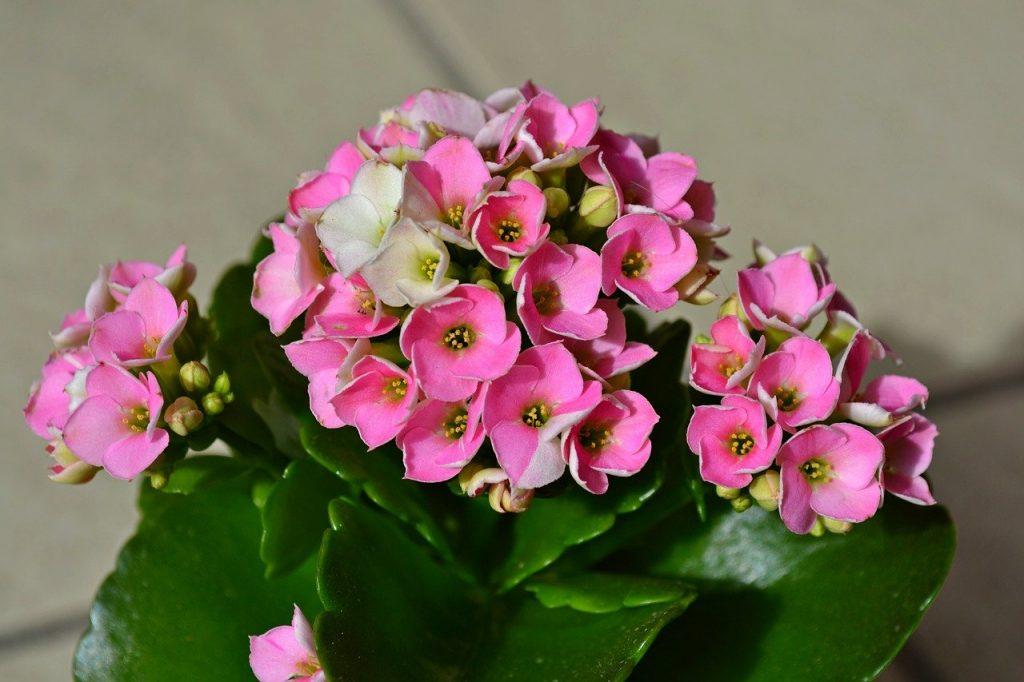 roze kalanchoë bloempjes