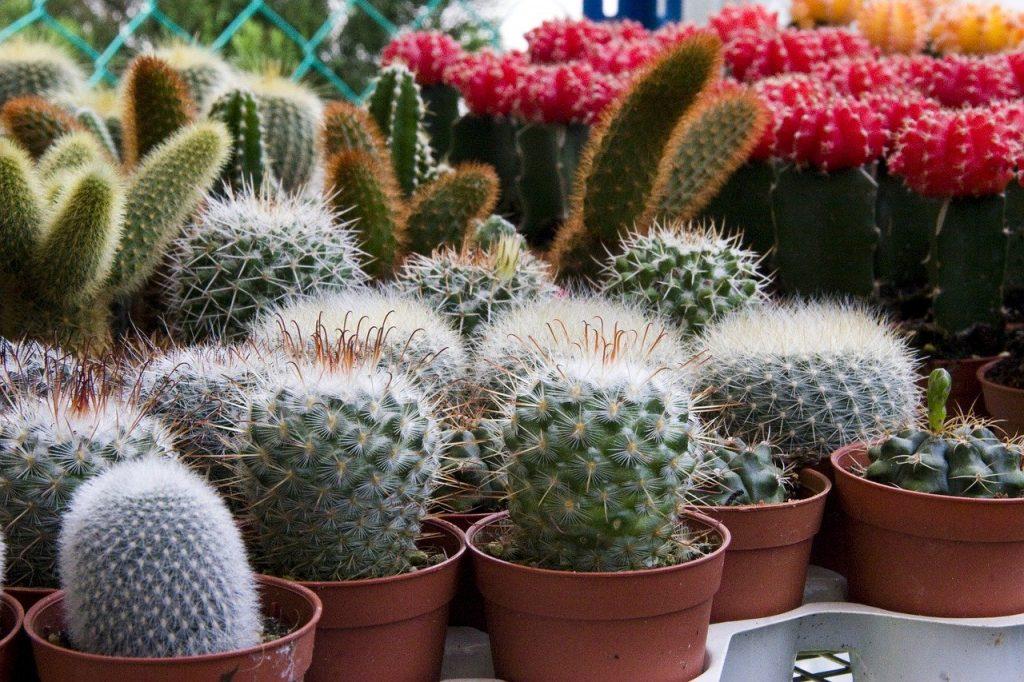 mini cactussen