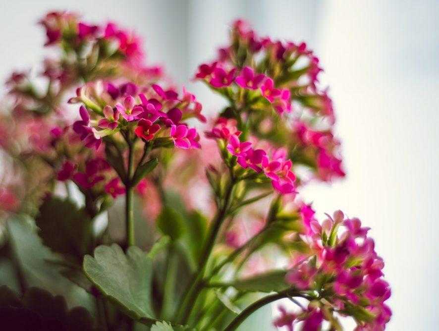 Fleur je kamer op met Kalanchoë