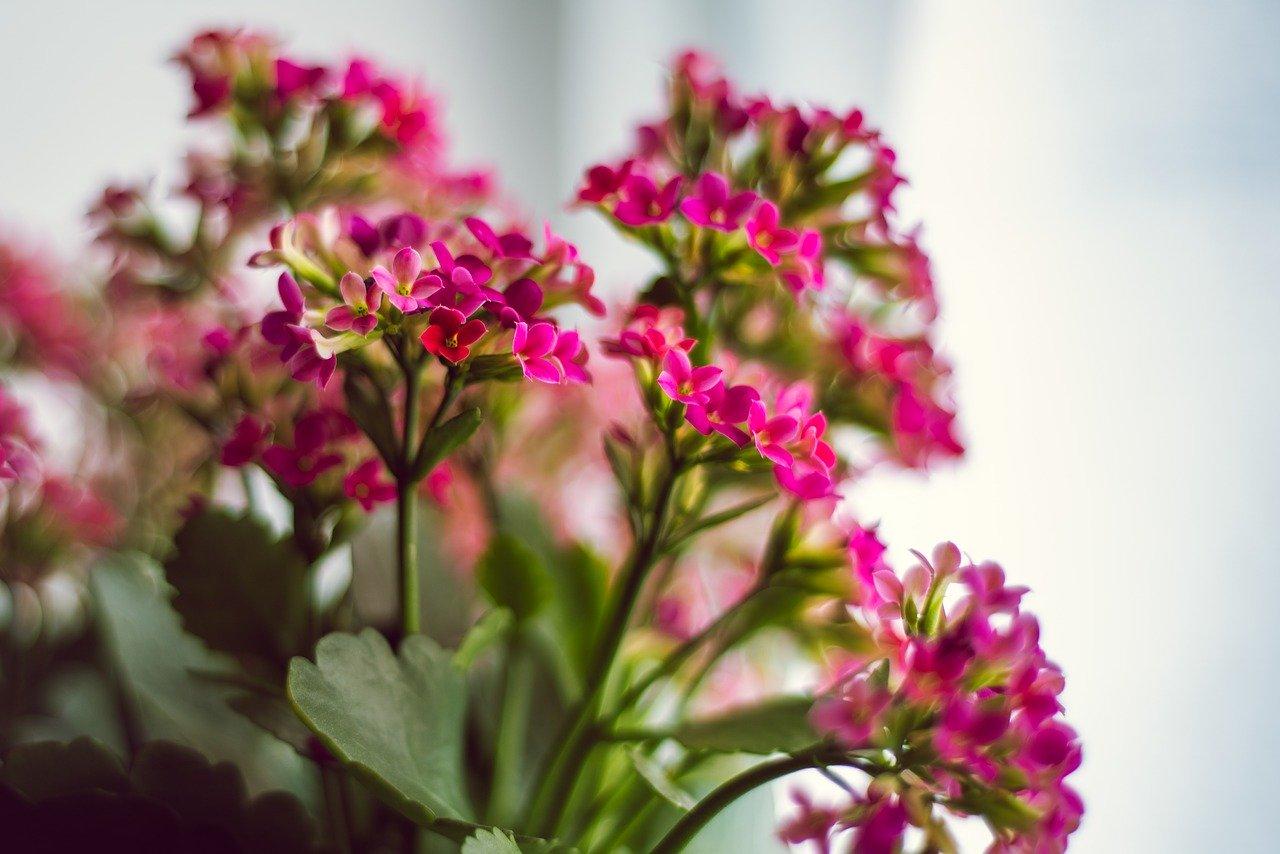 kalanchoë roze