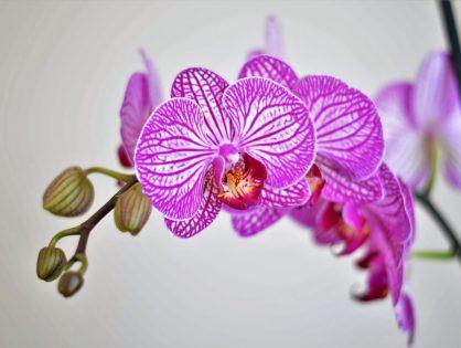 Kroonjuweel van de kamerplanten: de orchidee