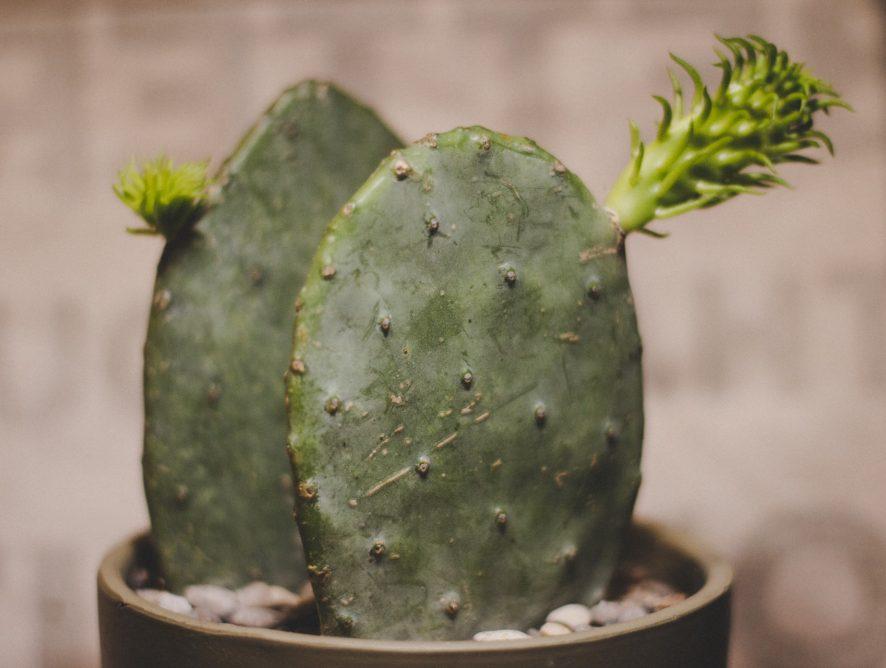 Fruitige cactus Opuntia