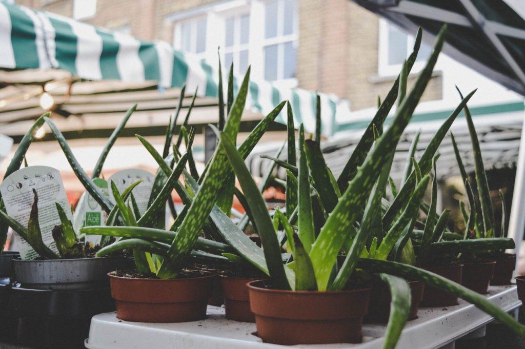 aloe vera planten op straat