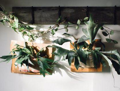 Buitengewoon mooi: de hertshoornvaren