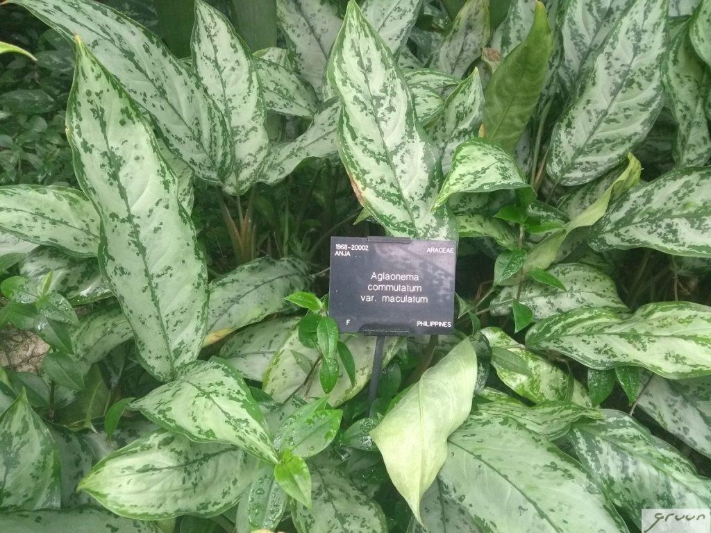 aglaonema kamerplant