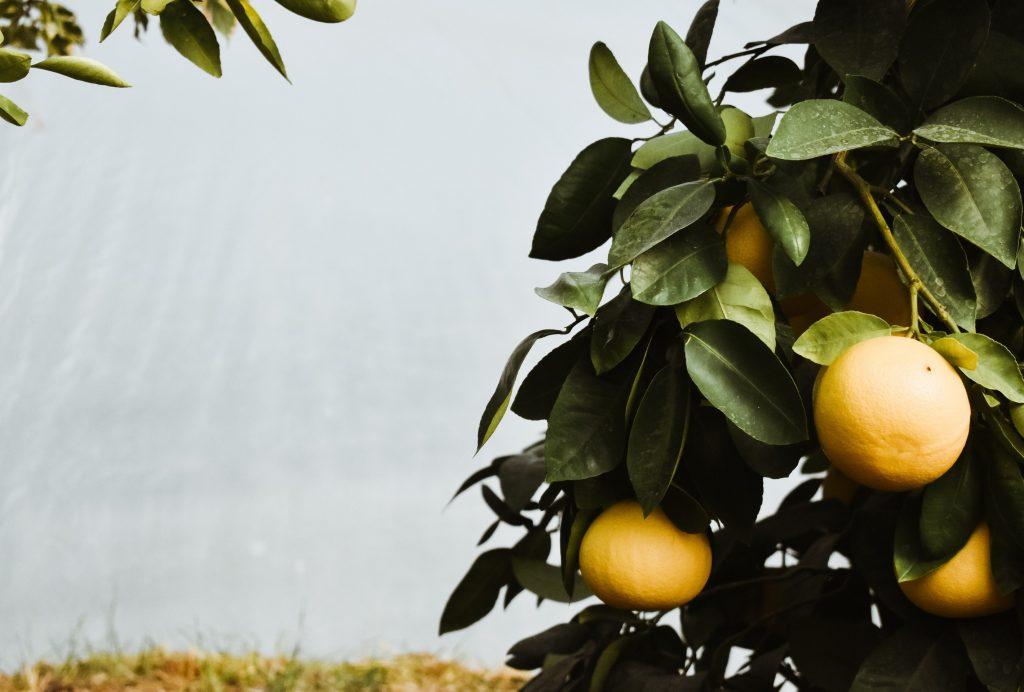 Fruitboom citrusvrucht