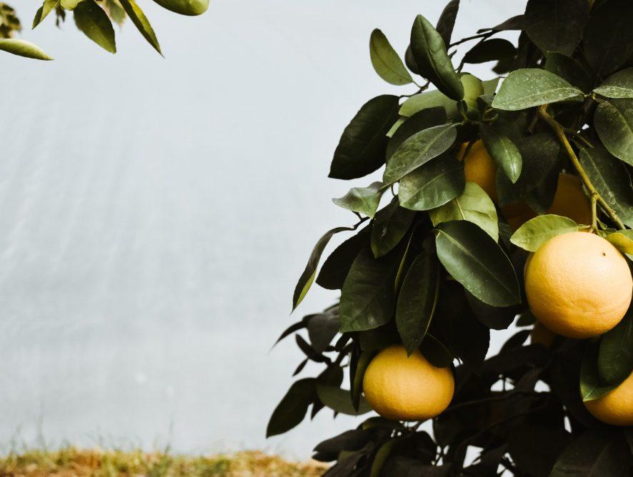 Een fruitboom als kamerplant?