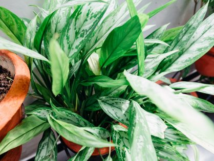 Voor je urban jungle: Aglaonema