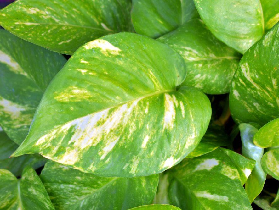 Drakenklimop, snelgroeiende klimplant om van te houden