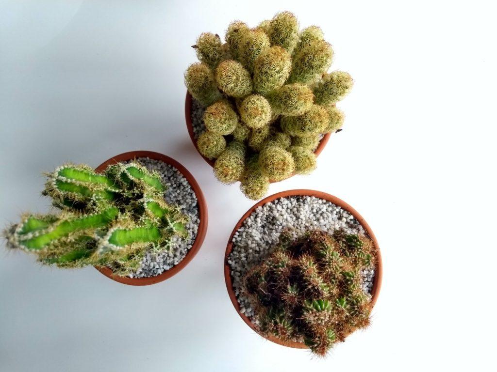 Cactussen met speciale potgrond en grind