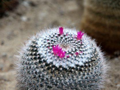 Kleine bolcactus Mammillaria