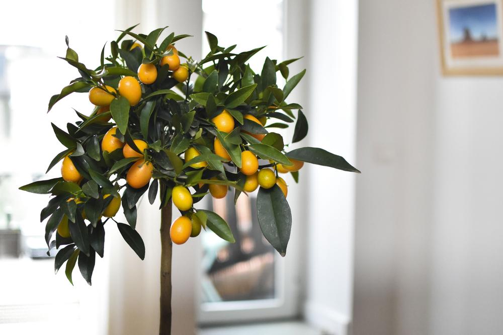Fruitboom binnen