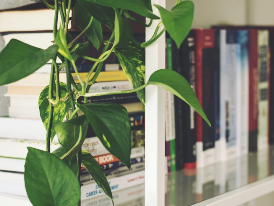Drakenklimop, supersnelle klimplant om van te houden