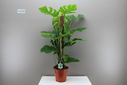 onmisbaar als plantentool: de mosstok