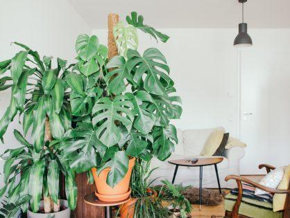 Monstera deliciosa, kamerplantenfavoriet uit de jaren 70
