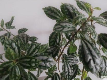 Pilea Cadierei: dwergplantje met zilvergrijze vlekken