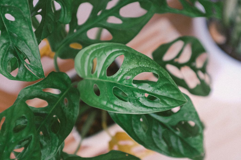monstera adansonii monkey mask
