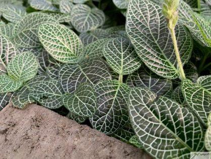Mozaïekplantje met kleurrijke nerven: Fittonia