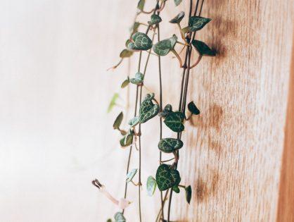 Ceropegia woodii, het Chinees lantaarnplantje