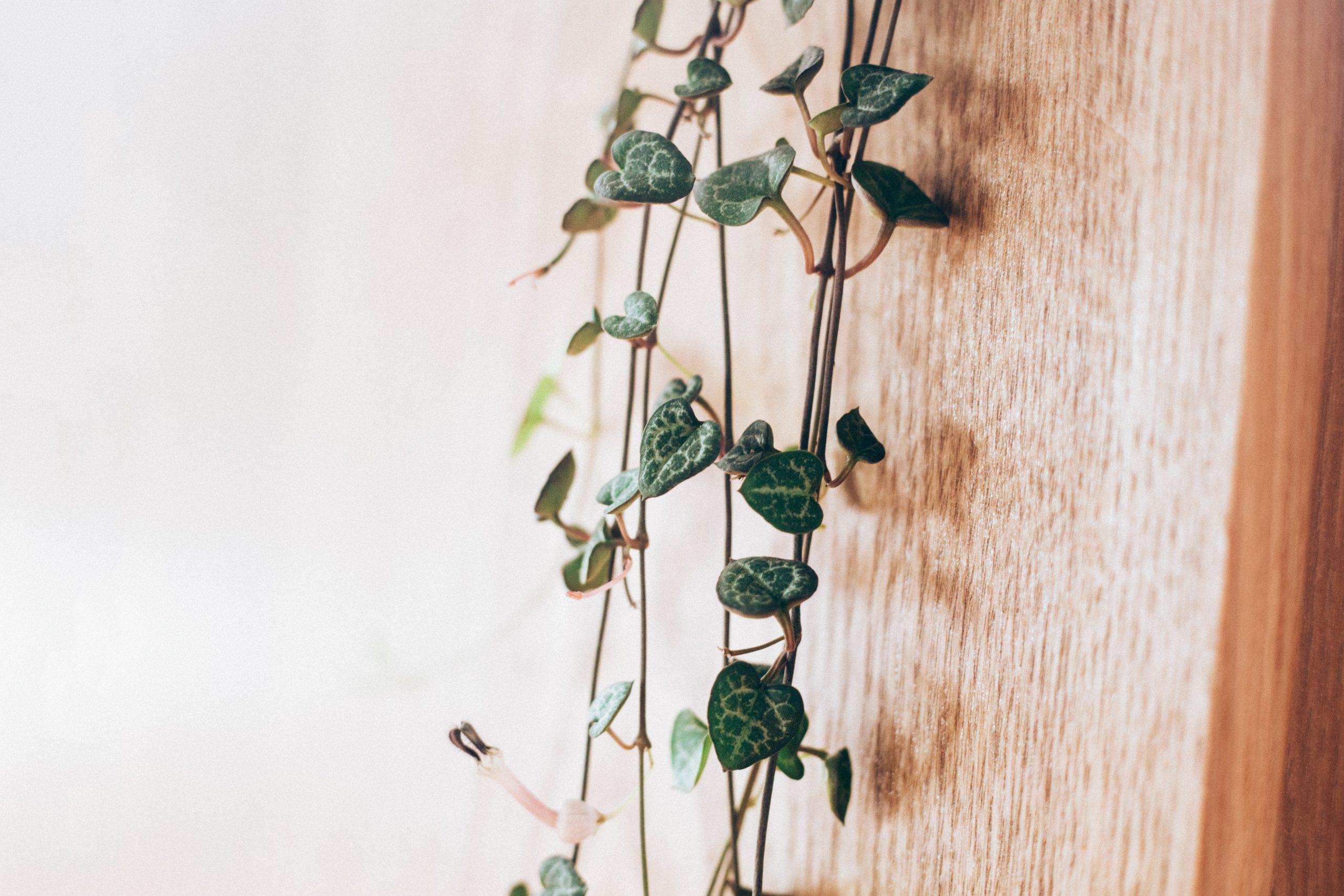 chinees lantaarntplantje