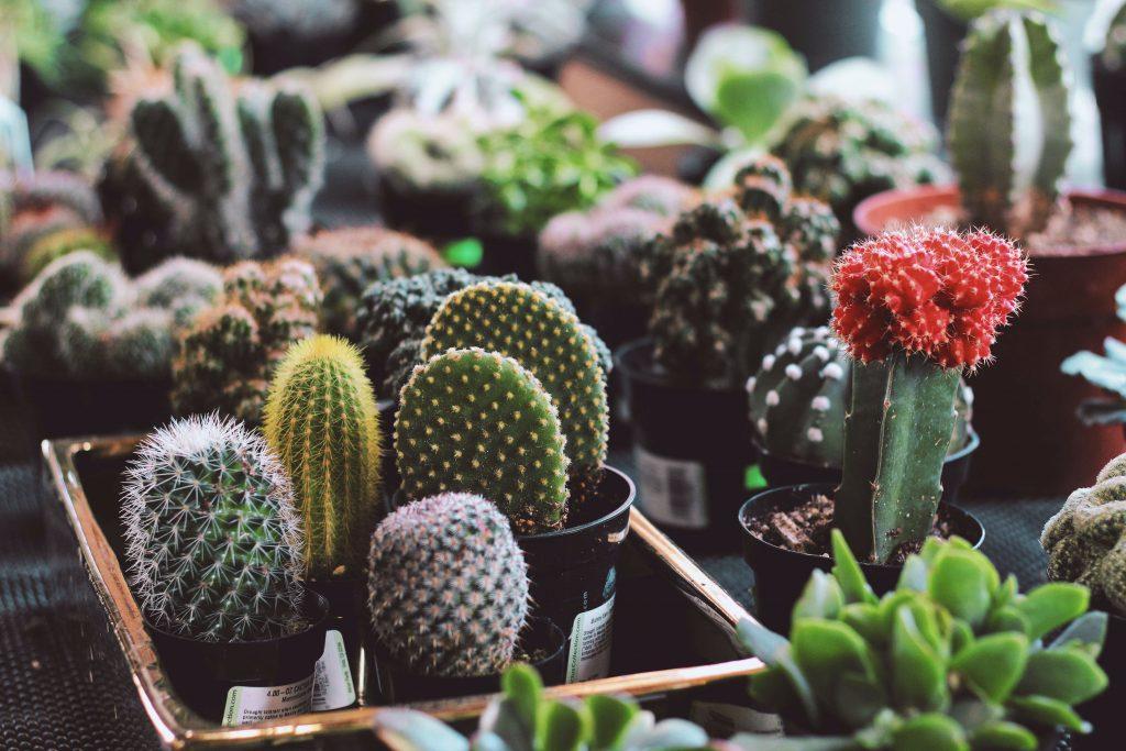 cactussen in de zon