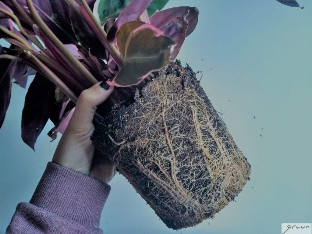calathea uit pot met wortels