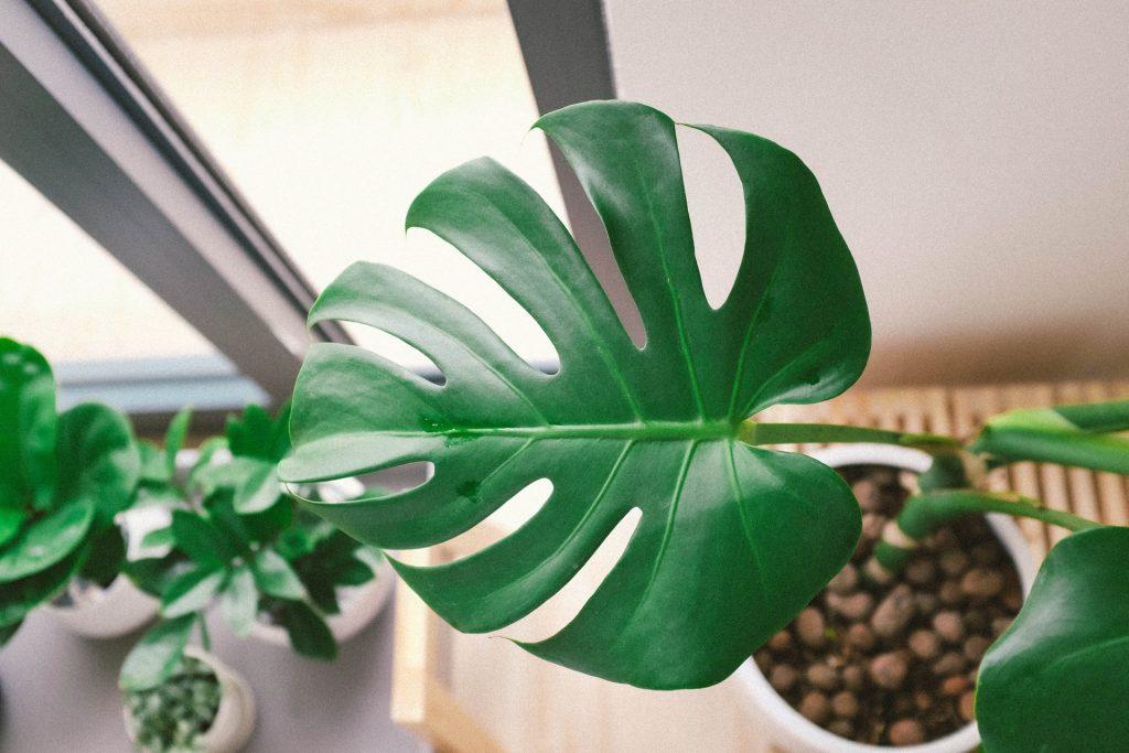 gatenplant blad