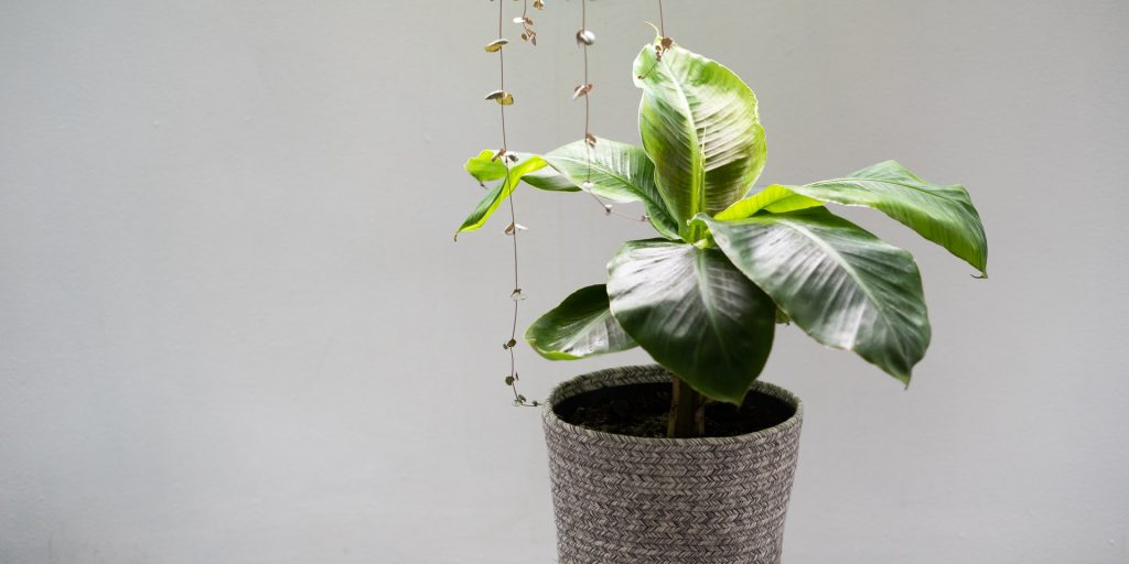 musa of bananenplant