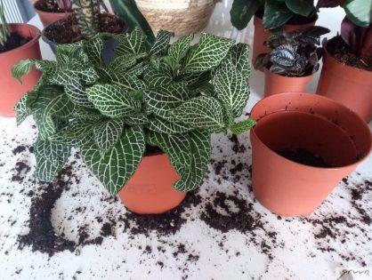 Je kamerplant verpotten: stap voor stap