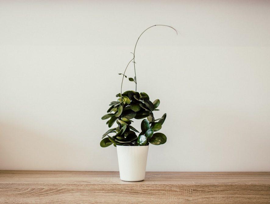 Hoya bella: de charme van de kleine wasbloem