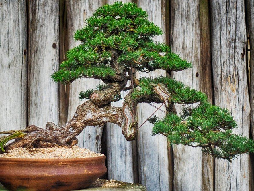 Bonsai: introductie in de wereld van miniatuurbomen (deel 1)