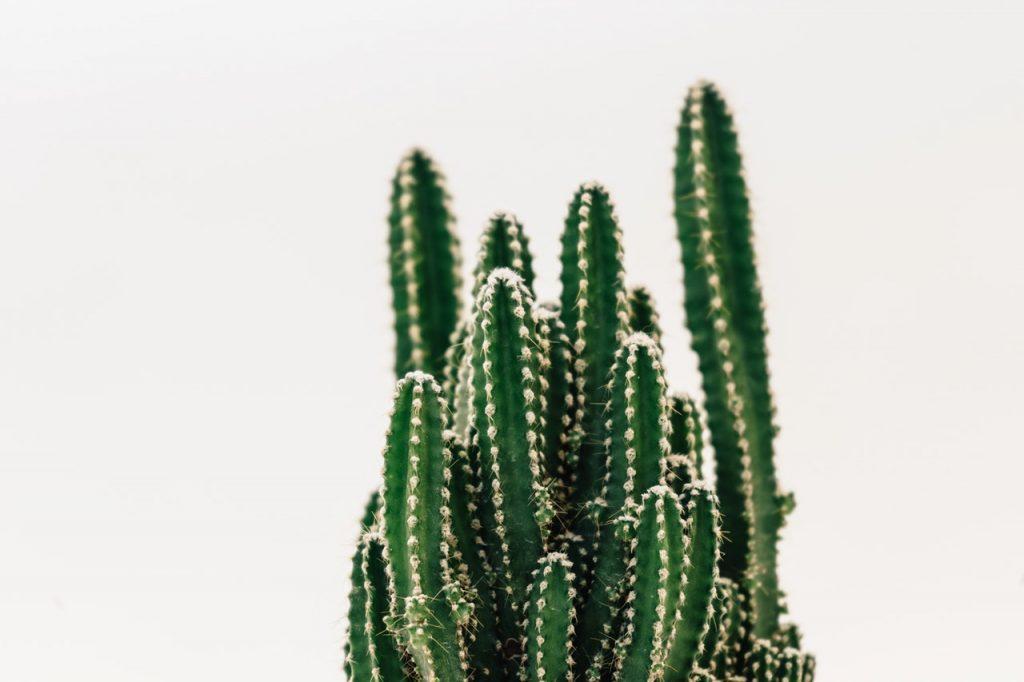cereus peruvianus close-up