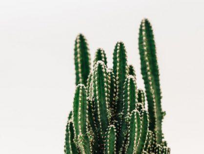 Cactus in de kijker: Cereus peruvianus of de zuilcactus