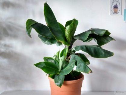 Bananenplant stekken: zo makkelijk krijg je nieuwe plantjes