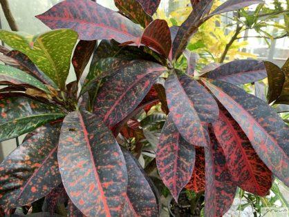 Codiaeum variegatum, de bontgekleurde Croton