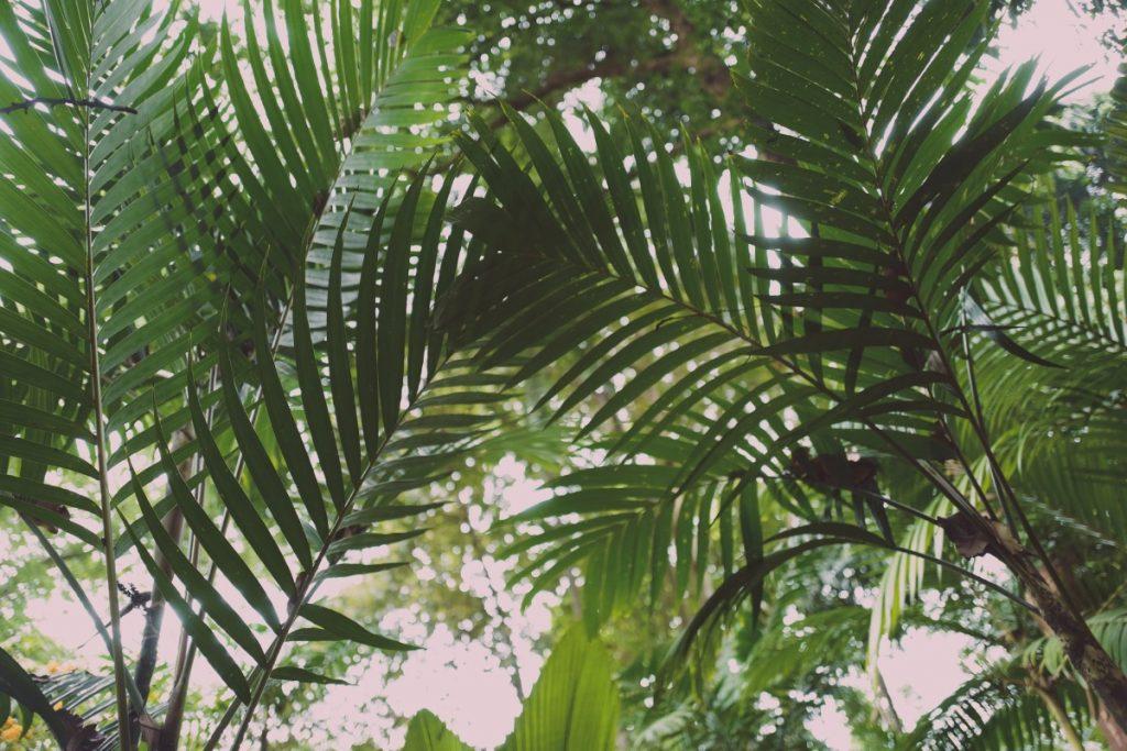 mexicaanse dwergpalm