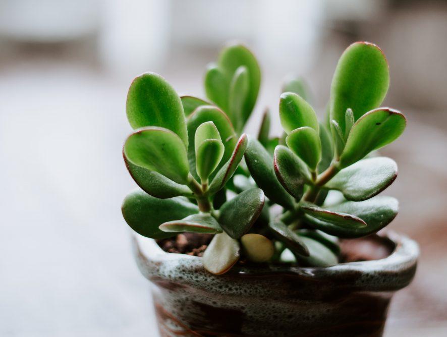 Crassula ovata, de jadeplant